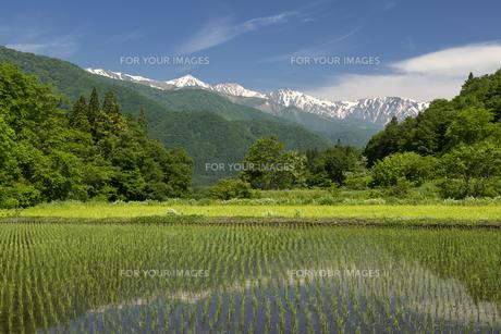 内山の早苗田と白馬三山 FYI00023546