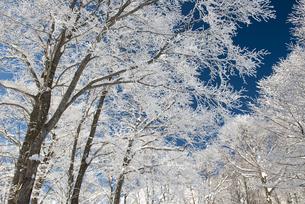 岩岳山頂ブナ林の霧氷5 FYI00023696