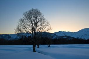 雪原のコブシと北アルプス FYI00023714