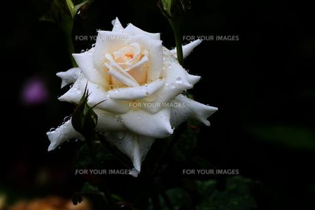 雨に濡れるバラの花 FYI00024975