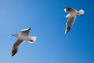 空飛ぶ2羽のカモメ FYI00025079
