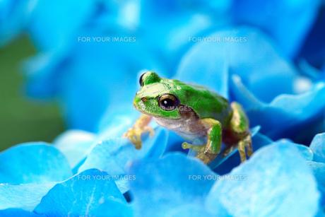 紫陽花と雨蛙 FYI00025114