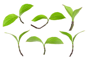 花水木の新芽双葉 FYI00025542
