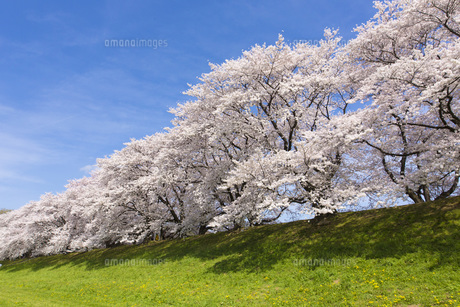 京都府八幡市の桜並木 FYI00026454