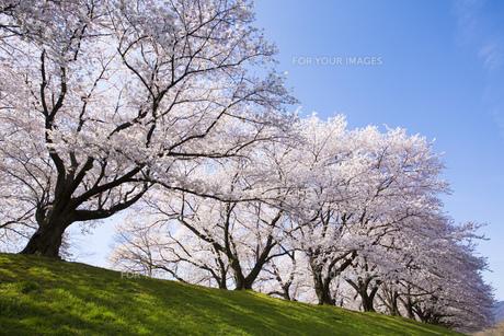 京都府八幡市の桜並木 FYI00026459