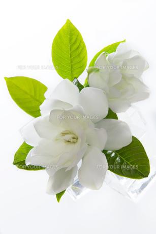 くちなしの花 FYI00026684