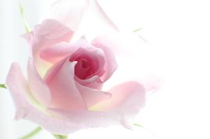 ピンクの薔薇 FYI00027009