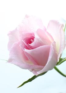 ピンクの薔薇 FYI00027013