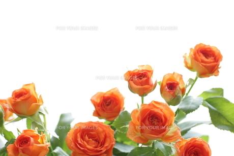 背景用の薔薇イメージ FYI00029649