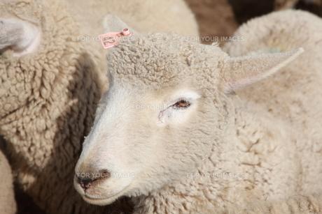 羊 FYI00033159