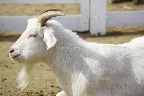 山羊 FYI00033169