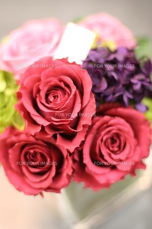 薔薇 FYI00034683