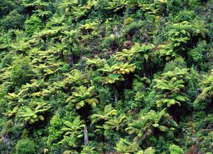 シダ類が群生する山 FYI00035237