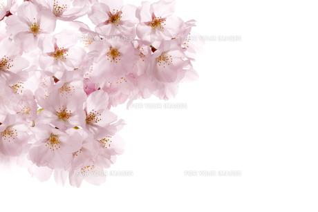 桜 FYI00039516