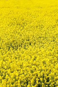 菜の花 FYI00039545