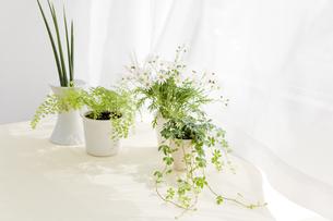 観葉植物とマーガレット FYI00040351