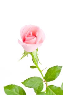 薔薇の花 FYI00040380