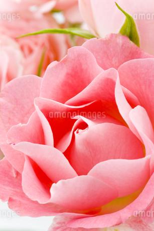 薔薇の花 FYI00040392