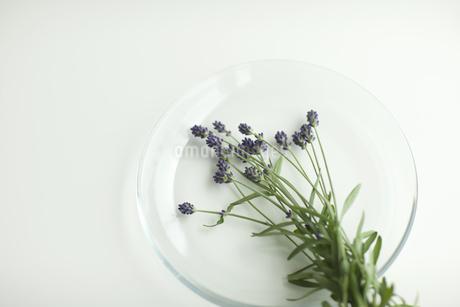 ラベンダーの花 FYI00041619