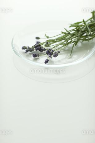 ラベンダーの花 FYI00041624