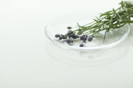 ラベンダーの花 FYI00041625