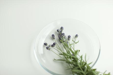 ラベンダーの花 FYI00041626