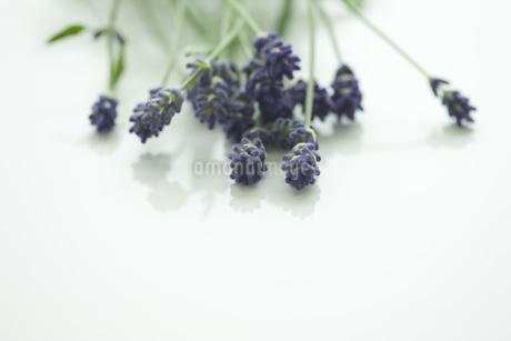 ラベンダーの花 FYI00041635