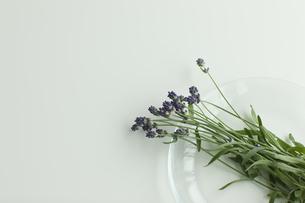 ラベンダーの花 FYI00041636