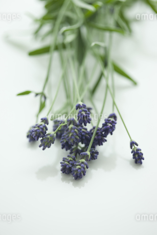 ラベンダーの花 FYI00041641