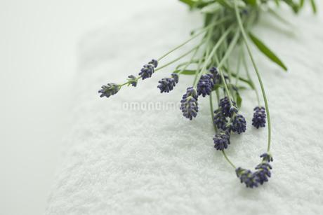 ラベンダーの花 FYI00041662