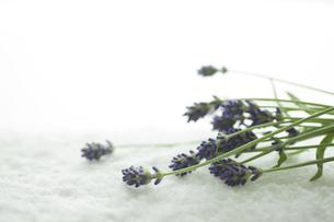 ラベンダーの花 FYI00041663
