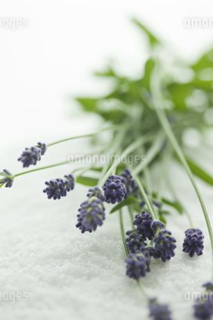 ラベンダーの花 FYI00041669