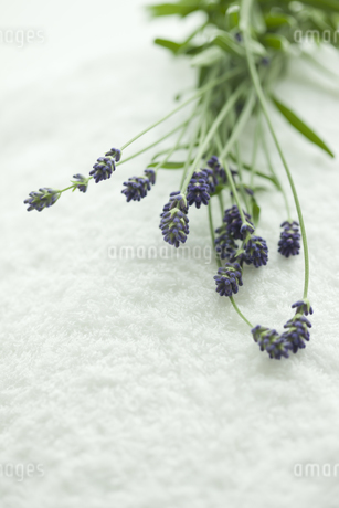 ラベンダーの花 FYI00041677