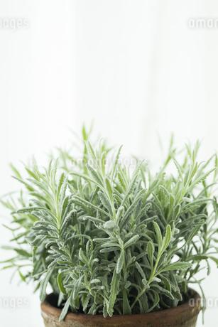 観葉植物 FYI00042667