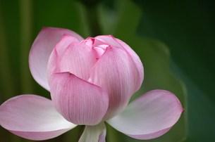 蓮の花 FYI00042999