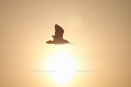 餌を咥えて飛び去るカモメのシルエット FYI00043009