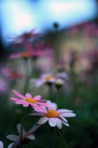 花壇の花 FYI00043047