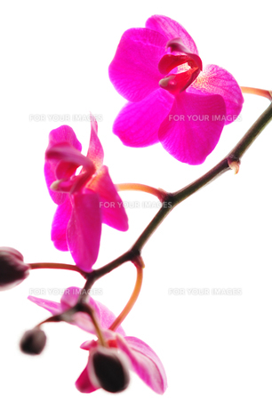 赤い花 FYI00043128