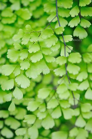 緑の葉 FYI00043132