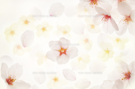 桜 FYI00043146