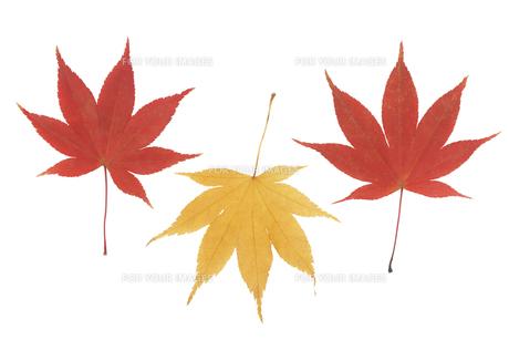 赤色と黄色い紅葉の葉 FYI00044782