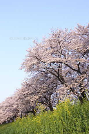 桜並木 FYI00045693