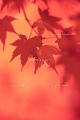 紅葉 FYI00045775