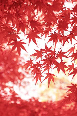 紅葉 FYI00045782