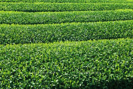 茶畑 FYI00045821