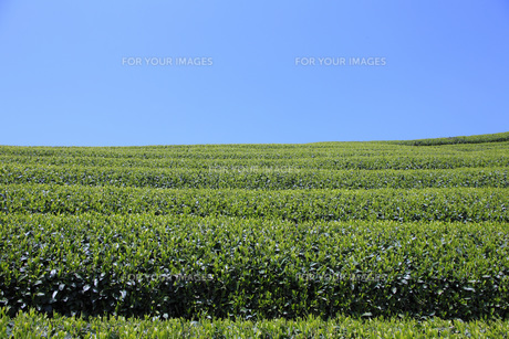 茶畑 FYI00045835