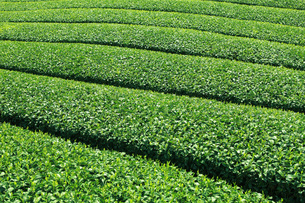 茶畑 FYI00045838