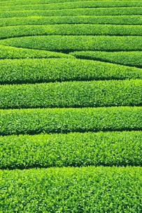 茶畑 FYI00045853