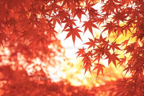 紅葉 FYI00045855