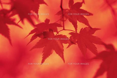 紅葉 FYI00045862